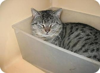 American Shorthair Cat for adoption in Brooklyn, New York - Rumble