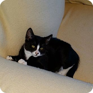 Domestic Shorthair Kitten for adoption in Prescott, Arizona - Vinny