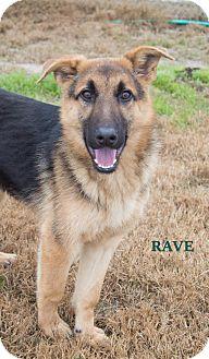 German Shepherd Dog Mix Puppy for adoption in Walnut Creek, California - Rave