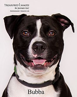 Pit Bull Terrier/American Staffordshire Terrier Mix Dog for adoption in Fremont, Michigan - Bubba