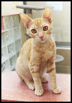 Domestic Shorthair/Domestic Shorthair Mix Cat for adoption in Wickenburg, Arizona - Marlon