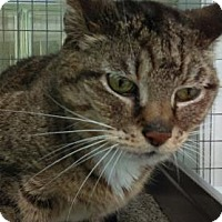 Domestic Shorthair Cat for adoption in Parma, Ohio - Hannah