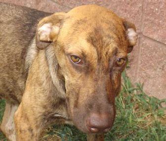 Hound (Unknown Type) Mix Dog for adoption in Oxford, Mississippi - Fudge