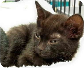 Domestic Shorthair Kitten for adoption in Sterling Heights, Michigan - Jade