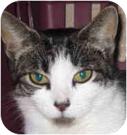 Domestic Shorthair Kitten for adoption in Randolph, New Jersey - Parker