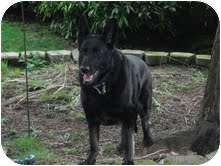 German Shepherd Dog Mix Dog for adoption in Steilacoom, Washington - Gordon