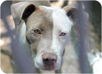 American Staffordshire Terrier Mix Dog for adoption in Long Beach, California - Meka