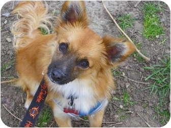 Pomeranian/Corgi Mix Puppy for adoption in Hesperus, Colorado - RYKER