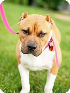 Pit Bull Terrier Mix Dog for adoption in WARREN, Ohio - Dahlia