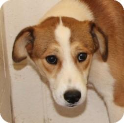 Collie Mix Dog for adoption in Lebanon, Maine - Elias-URGENT in GA