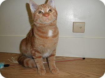 Domestic Shorthair Kitten for adoption in Milwaukee, Wisconsin - Seamus