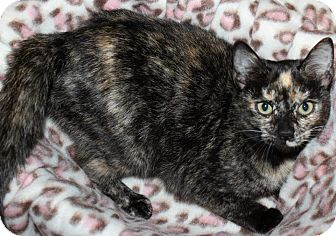 American Shorthair Cat for adoption in Pilot Point, Texas - MARBLE