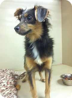 Whippet/Chihuahua Mix Dog for adoption in Snyder, Texas - Wile E