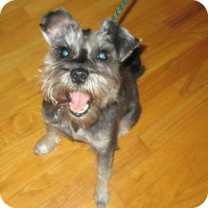 Schnauzer (Miniature) Dog for adoption in Redondo Beach, California - Tina
