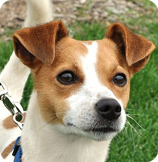 Rat Terrier/Chihuahua Mix Dog for adoption in Farmington, Minnesota - LANTZ