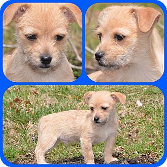 Chihuahua Mix Puppy for adoption in Spring City, Pennsylvania - Bongo