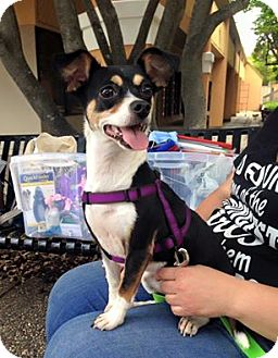 Rat Terrier Mix Dog for adoption in Plano, Texas - ABBY