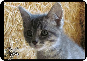 Domestic Shorthair Kitten for adoption in Estancia, New Mexico - Rufus