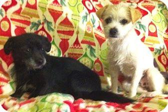 Schnauzer (Miniature)/Fox Terrier (Toy) Mix Dog for adoption in Boulder, Colorado - Cole-Adoption Pending