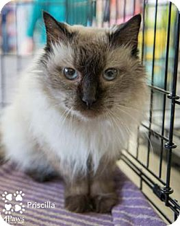 Himalayan Cat for adoption in Merrifield, Virginia - Priscilla