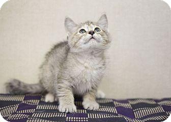 Domestic Mediumhair Kitten for adoption in Sterling, Kansas - Madge