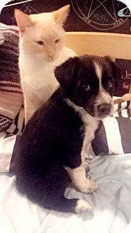 Australian Shepherd/Border Collie Mix Puppy for adoption in Chandler, Arizona - Rex