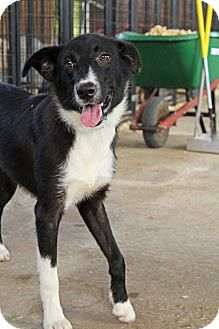 Border Collie Puppy for adoption in Leslie, Arkansas - Max