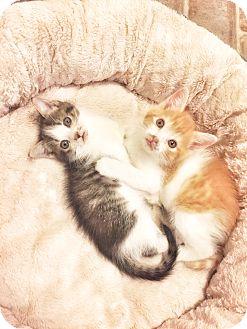 Domestic Shorthair Kitten for adoption in Xenia, Ohio - Ralphie