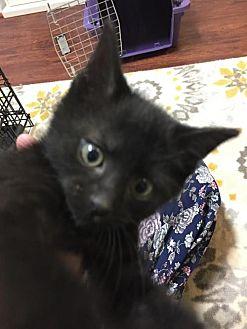 Domestic Shorthair Kitten for adoption in Herndon, Virginia - Darrell