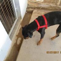 Adopt A Pet :: 36047613 - Jacksboro, TX