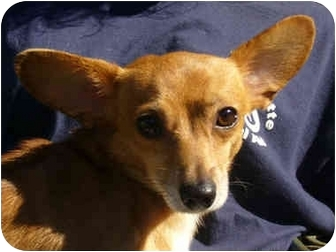 Chihuahua/Dachshund Mix Dog for adoption in Portsmouth, Rhode Island - Scooter