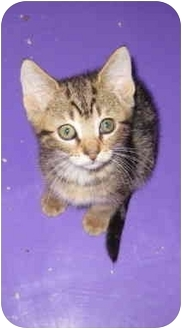 Domestic Shorthair Kitten for adoption in Randolph, New Jersey - Muffy