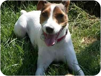 Jack Russell Terrier Dog for adoption in Omaha, Nebraska - Diesel