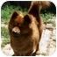 Photo 1 - Chow Chow Mix Dog for adoption in Harbor City, California - Blaze