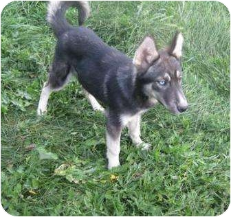 Husky Puppy for adoption in Antioch, Illinois - Dale