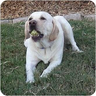 Labrador Retriever Dog for adoption in Coppell, Texas - Duke