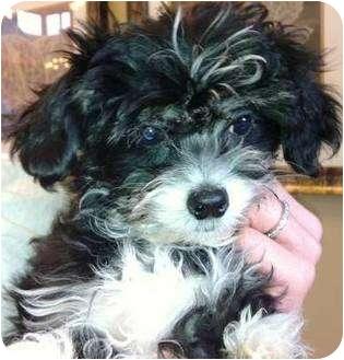 "Maltese/Shih Tzu Mix Puppy for adoption in Oswego, Illinois - The Malts ""Oreo"""