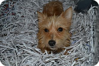 Terrier (Unknown Type, Small) Mix Dog for adoption in Edwardsville, Illinois - Skippy