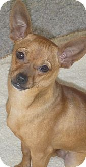 Italian Greyhound/Chihuahua Mix Dog for adoption in Seattle, Washington - Linus
