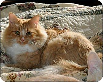 Domestic Longhair Cat for adoption in Colville, Washington - Gizelle
