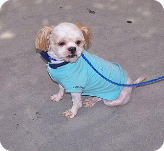 Shih Tzu Dog for adoption in Concord, North Carolina - Dominique