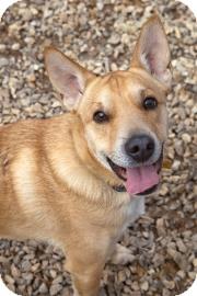 Cardigan Welsh Corgi Mix Dog for adoption in Philadelphia, Pennsylvania - Squirt