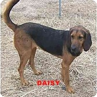 Adopt A Pet :: Daisy - Carrollton, GA