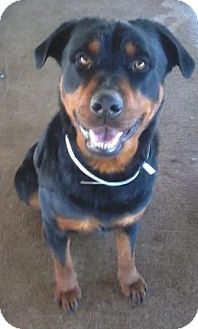 Rottweiler Dog for adoption in Houston, Texas - REMI