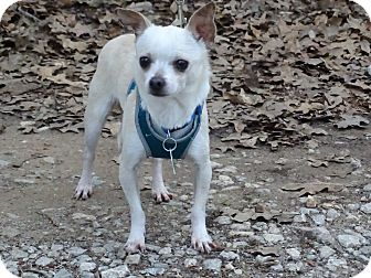 Chihuahua Dog for adoption in Hurst, Texas - Whitey