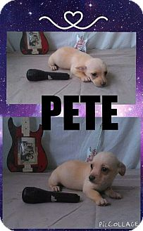 Chihuahua/Terrier (Unknown Type, Small) Mix Puppy for adoption in New Port Richey, Florida - Pete