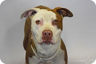 American Staffordshire Terrier Mix Dog for adoption in Huntington Station, New York - Giovanna