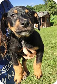Australian Cattle Dog/Black Mouth Cur Mix Puppy for adoption in Boca Raton, Florida - Clifford