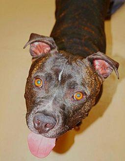 American Staffordshire Terrier Dog for adoption in Fredericksburg, Virginia - Marcel- Smiles Forever Rescue