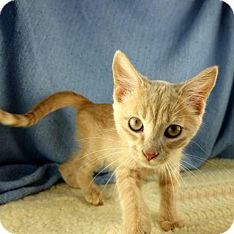 Domestic Shorthair Kitten for adoption in Columbia, Illinois - Leopold